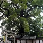今熊野神社 大楠
