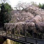 京都東山区しだれ桜