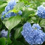 三室戸寺-紫陽花